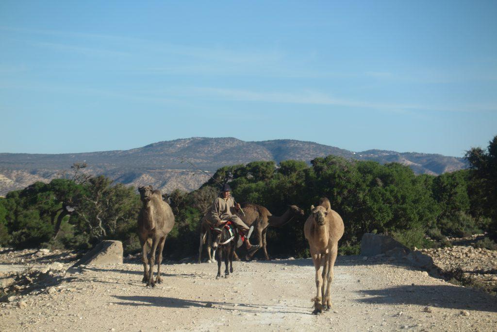 wielbłądy w Maroku