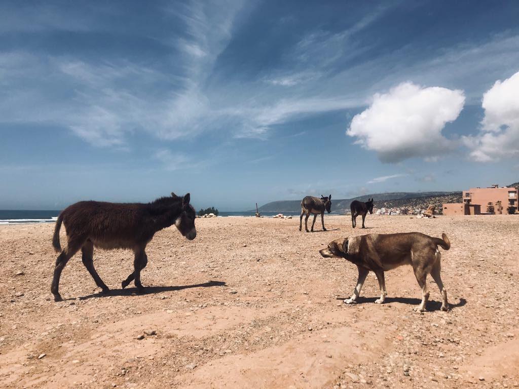 osły na plaży w Agadirze