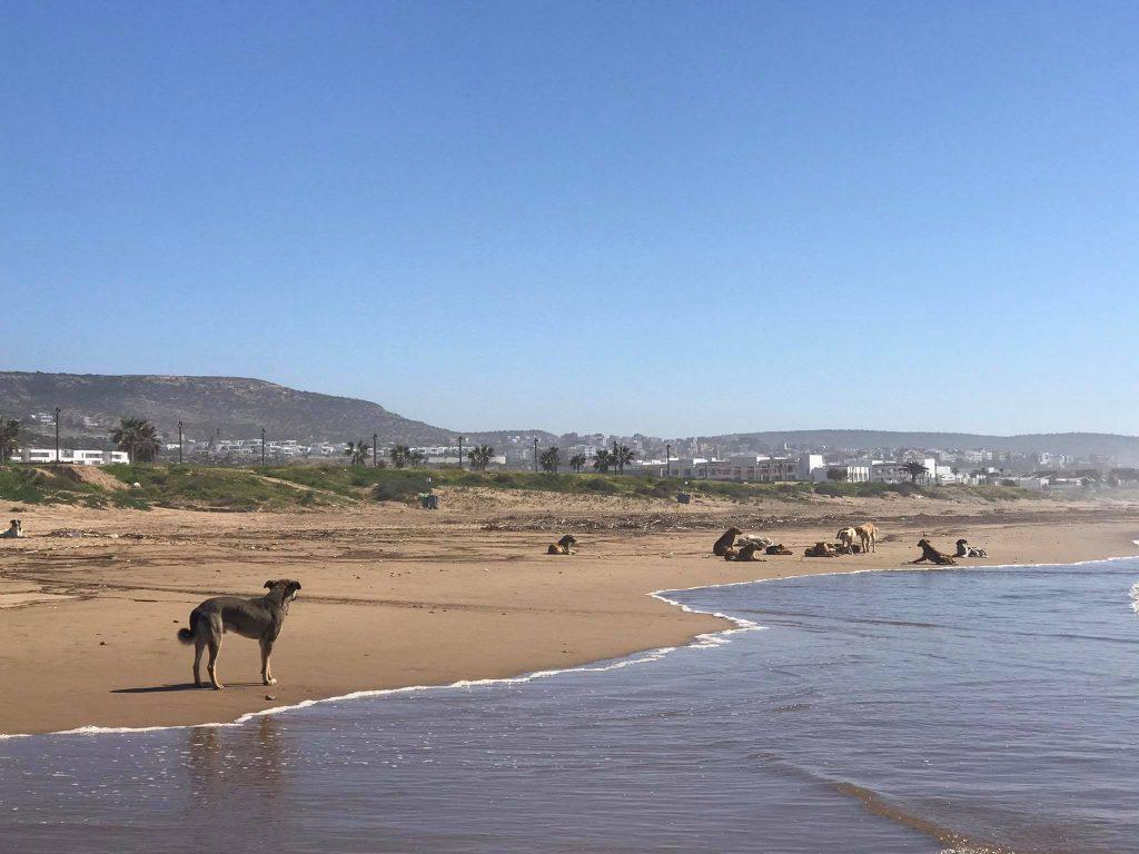 pies w maroku 1