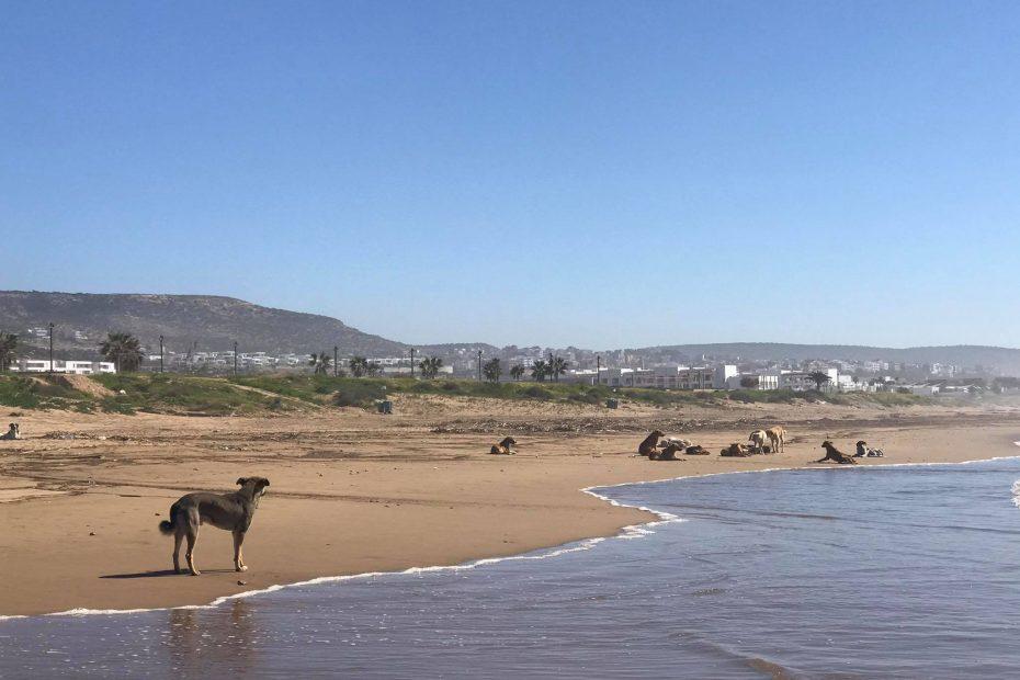 pies w Maroku